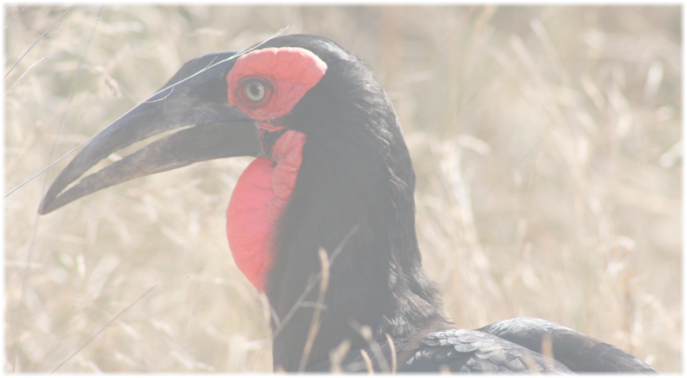 Southern Ground Hornbill on a Birding Safari Hoedspruit